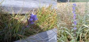 尾瀬の花02