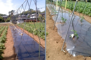 ミニトマト苗植え付け