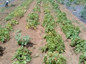 乾燥したジャガイモの畝