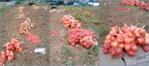 収穫した玉葱