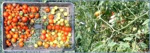 少ないミニトマト