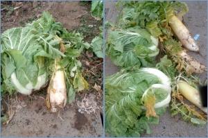 収穫した白菜大根