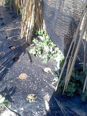 囲いの中の絹サヤ