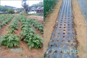 左はジャガイモ、右はほうれん草の種を蒔いた畝