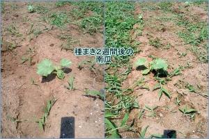 種を蒔いて2週間後の南瓜