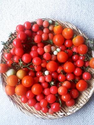 収穫した瑞々しいミニトマト