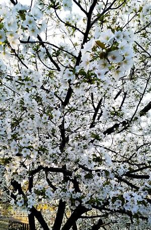 左近川で桜が満開