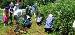 ジャガイモとトマトの収穫