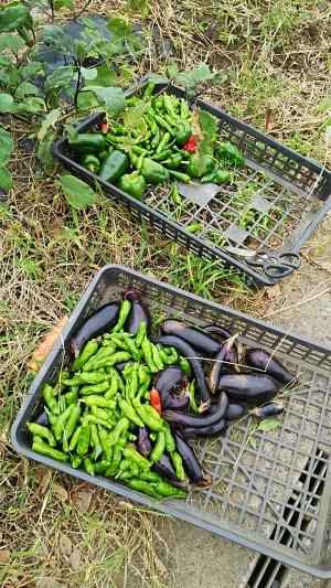今回の収穫野菜