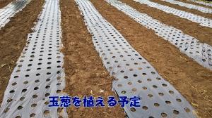 玉葱を植える予定