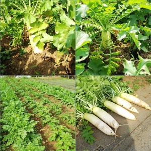 畑の大根と収穫の一部