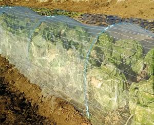 防虫ネットに覆われた白菜