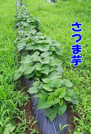 さつま芋の畝